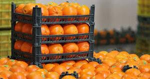 (افزایش سه برابری قیمت پرتقال به علت صادرات بی رویه