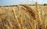 مصوبه نرخ گندم غیر قانونی است!!!