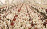 تشدید مشکل تامین نهاده دامی مرغداران و التهاب در بازار مرغ