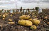 قیمت تمام شده هر کیلو سیب زمینی ۳ هزار و ۵۰۰ تومان